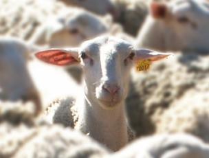 sheep3