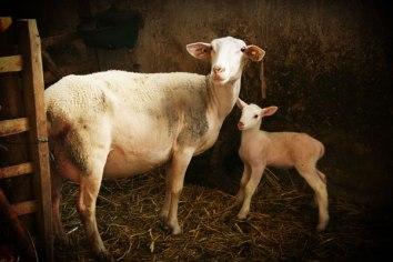 Brebis préalpes avec agneau