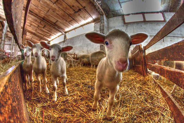 Les agneaux préalpes