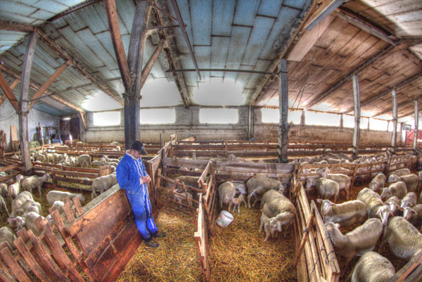 La bergerie pendant l'agnelage