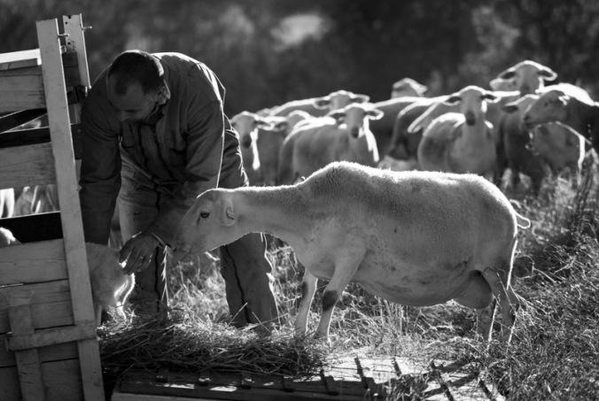 Quand les agneaux naissent dans le pré