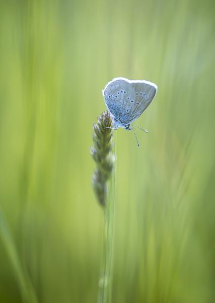 Papillon bleu azuré