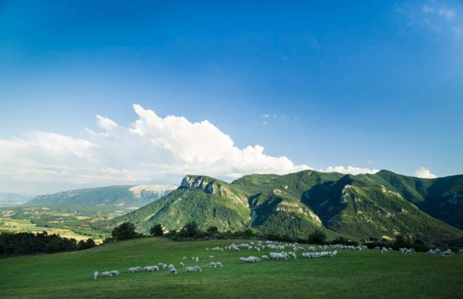Les brebis préalpes dans un pâturage dans les Hautes-Alpes