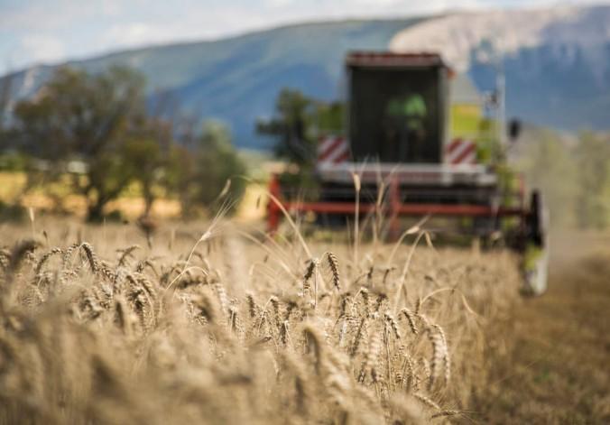 Moisson de blé bio dans les Hautes-Alpes