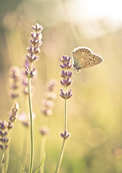 Papillon sur lavande