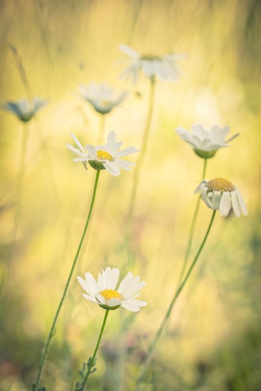 Marguerites alpines