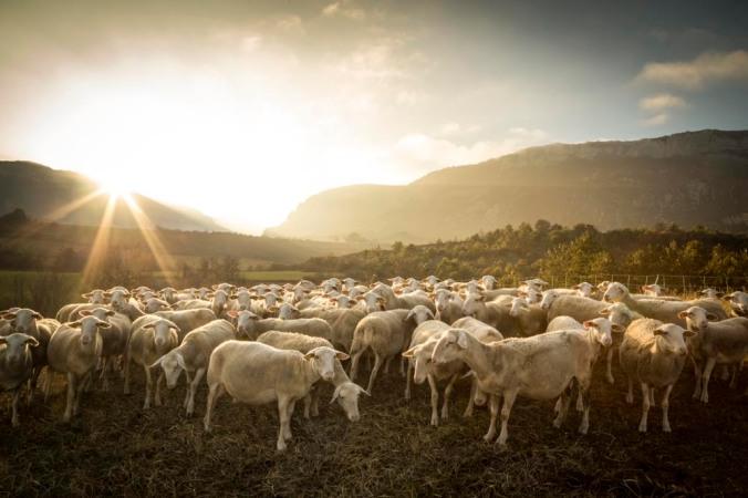 Troupeau de brebis à Trescléoux, Hautes-Alpes