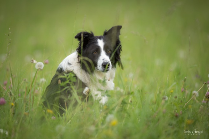 Chien de berger - Border Collie