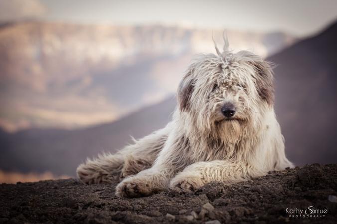 Levis, chien de berger